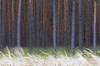 Kiefernwald und Graeser im Herbst / Pine forest and grasses in autumn / Oberlausitz  -  Sachsen