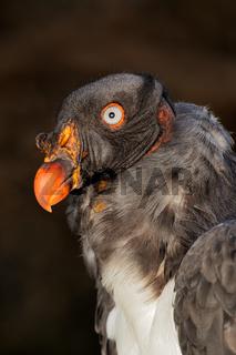 American king vulture