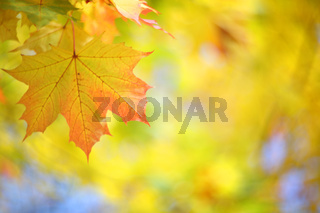 Yellow autumn maple tree background