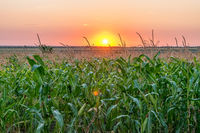 Beautiful green corn field at sunset. Corn field at sunset with beautiful sky. Organic Corn field at sunset