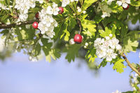 hawthorn tree with berries and flowers