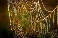Drops of morning dew on the web