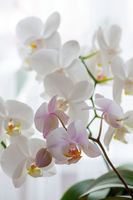 Fragment of blooming white and pink orchids.