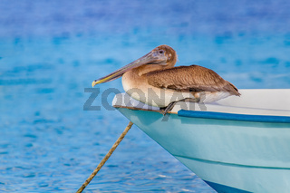 Brown pelican sits on front of boat at water