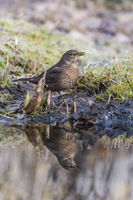 Female Blackbird, Turdus merula