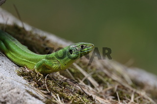 Western Green Lizard sits in a dry stone wall Germany
