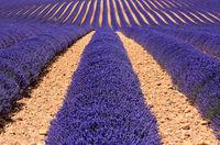 Mediterranean field of lavender
