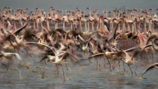 long exposure shot of flamingos taking flight at lake bogoria