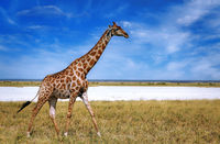 giraffe, Etosha National Park, Namibia, (Giraffa camelopardalis)