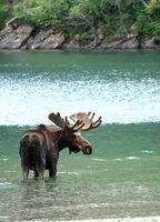 moose in a lake close up