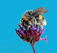 Bumblebee full of pollen