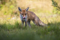 Alert red fox licking nose with pink tongue on a green summer meadow