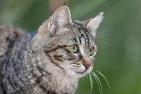 Hauskatze (Felis silvestris catus)
