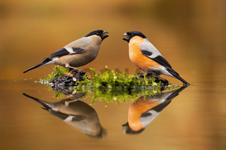 Pair of male and female eursian bullfinch sitting just above water level