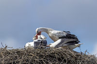White Stork feeding the young on the nest