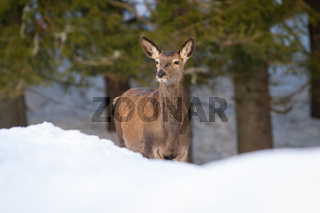 Red deer female looking in forest in winter nature
