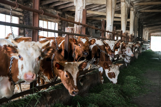 farm cows eat grass at shallow depth of field