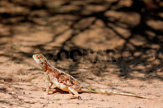 Agame, Kgalagadi-Transfrontier-Nationalpark, Südafrika | Agama, Kgalagadi Transfrontier National Park, South Africa