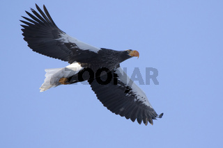 adult Steller's Sea Eagle flying against blue sky
