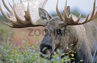 Portraet eines Elchschauflers - (Alaska-Elch) / Bull Moose in portrait - (Alaska Moose) / Alces alces - Alces alces (gigas)