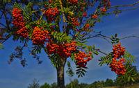 European rowan, mountain ash, rowan tree, sorb