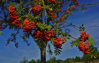 Eberesche, Sorbus aucuparia, European rowan