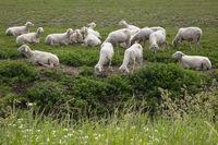 Sheep at the grassland