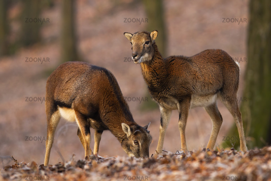 Two mouflons standing in forest in autumn nature.