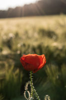 Single common poppy blossom with field in background and sun rays