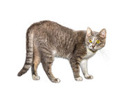 Adult cat, isolated. Cute gray cat on a white background. Studio photography cut for design or advertising.