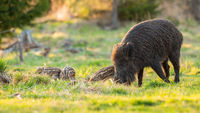 Wild boar family feeding on pasture in spring nature