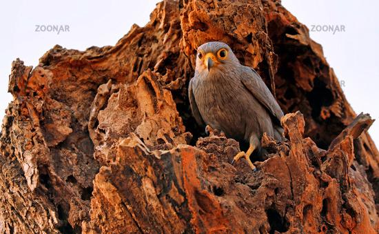 grey kestrel, Murchison Falls National Park Uganda (Falco ardosiaceus)