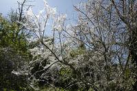 web moth caterpillars in a silver spun over a bush