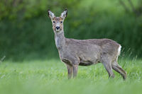 Roe Deer doe during change of coat on a forest meadow