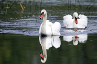 Mute Swan cob threatens a conspecific