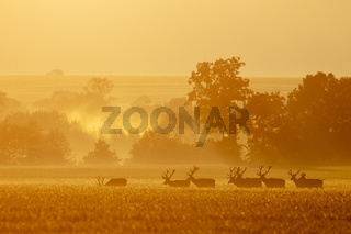 Group of red deer stags walking together in the morning mist
