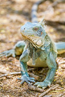 Close up green iguana front view
