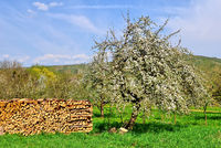 Tree blossom Remstal Schnait