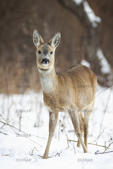 Cute roe deer doe standing on snow in winter from front view