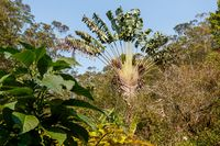 Ravenala palm, traveler tree symbol of Madagascar