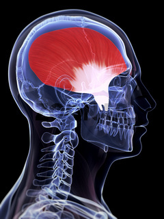 3d rendered illustration of the temporalis muscle
