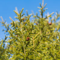 Evergreen branches with cones of Xmas tree in pine forest on background blue sky sunny day