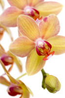 Beautiful phalaenopsis orchid 4