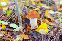 Rotkappe Pilz im Herbstwald - red cap mushroom in autumn forest