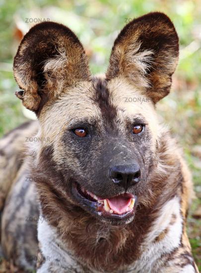 Wild Dog, endangered, South Africa, rare Wild Dog, South Africa
