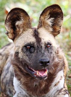 Wildhund, vom Aussterben bedroht, Südafrika, rare Wild Dog, South Africa