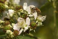 bee on blackberry blossom and unripe blackberries