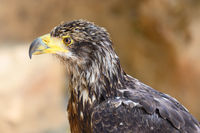 Portrait of a young Bald eagle . High quality photography.