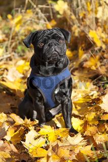 Schwarzer Mops im Herbst