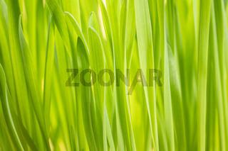 fresh green oat grass abstract
